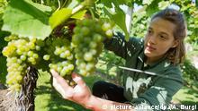 Eine Frau schneidet mit einer Schere Trauben am Weinstock ab