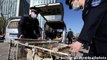Two masked urban management officers, also known as chengguan, put a cage of chickens they confiscated from a vendor over illegal sales on a van in Beijing, China, 11 April 2013. The H7N9 bird flu virus claimed another life on Thursday (11 April 2013) and five more people were confirmed to have contracted it. That brings to 38 the number of cases confirmed by mainland authorities since the first on March 31, with 10 dead. A four-year-old boy in Shanghai has been discharged after making a full recovery. A 74-year-old retired man in Shanghai became the tenth death. He was diagnosed with pneumonia on Tuesday, confirmed to be infected with H7N9 on Wednesday and died on Thursday, Shanghai authorities said. Scientists and public health experts have been racing against the clock to study the virus, which has jumped for the first time from birds to humans. A gene mutation known to help resist Tamiflu, one of the drugs recommended for treating H7N9, was found in the first of three H7N9 specimens from a Shanghai patient. The mutation, known as R292K, causes high-level resistance to the Roche-made drug and reduced sensitivity to a related drug from GlaxoSmithKline, Relenza, also recommended for treating H7N9 patients, according to information posted on the website of the Global Initiative on Sharing Avian Influenza Data. | (c) picture-alliance/dpa/Jhphoto