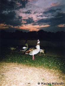 Gänse beim Sonnenuntergang Foto: Maciek Walorski