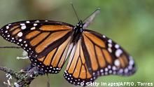 18. März 2008 A Monarch butterfly (Danaus plexippus) at the oyamel firs (Abies religiosa) forest in Temascaltepec, Mexico on November 12, 2015. Monarch butterflies almost quadruple the forest area they occupy during their hibernation in Mexico thanks to actions taken by the three North American governments to reduce threats faced by this species on their migration from Canada, according to the Mexican Environment Minister. AFP PHOTO/OMAR TORRES (Photo credit should read OMAR TORRES/AFP/Getty Images) Copyright: Getty Images/AFP/O. Torres