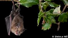 Fledermäuse International Bat Night 2016