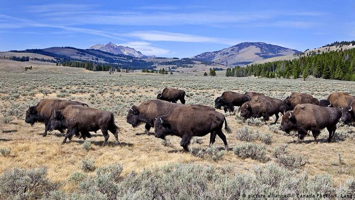 USA Bisons im Yellowstone-Nationalpark (picture alliance/All Canada Photos/K. Lang)