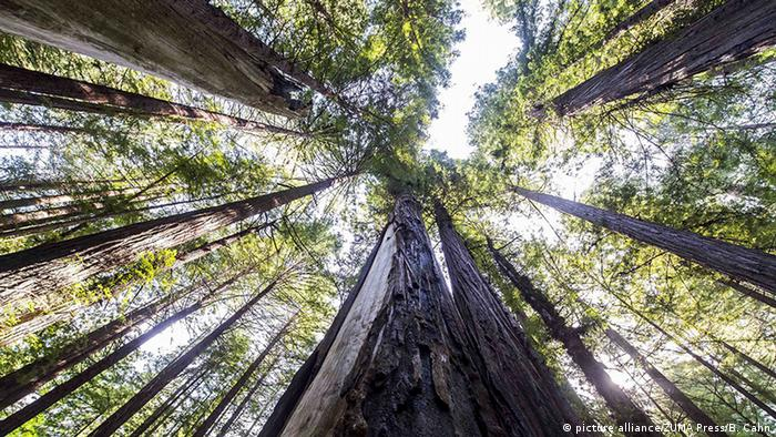 Redwood trees in The Avenue of the Giants, USA (picture alliance/ZUMA Press/B. Cahn)