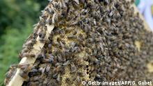 A picture shows bees on a honeycomb in the Oblats Park in Nantes on June 10, 2015. The UNAPLA (Union of Beekeepers of the Loire-Atlantique) has put two honey houses at the service of the region's beekeepers, one for amateurs and a second for professionals. Copyright: Getty Images/AFP/G. Gobet