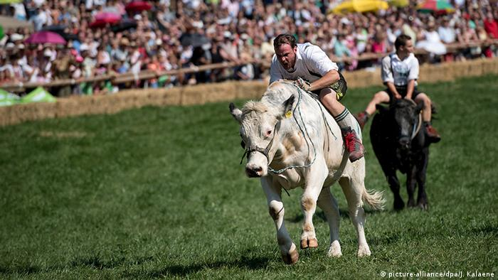 Баварцы скачут на быках в Мюнзинге