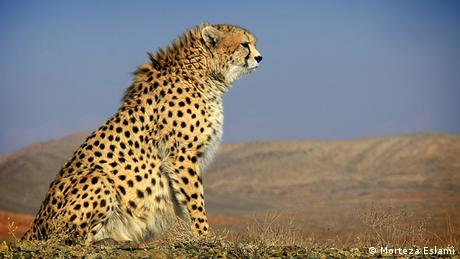 Asiatic cheetah in Miandasht wildlife refuge, Iran © Morteza Eslami