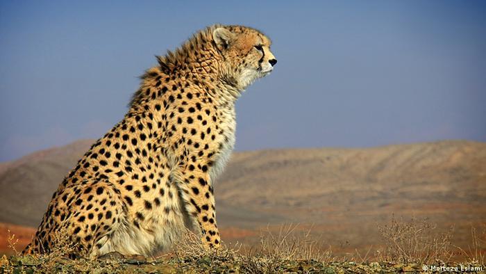 Artenschutz in Zentralasien Gepard (Morteza Eslami)