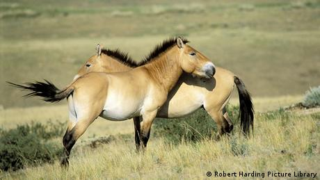 Przewalski's horses in Khustai National Park, Mongolia © Robert Harding Picture Library