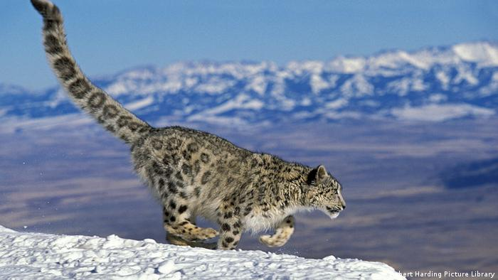 A snow leopard against a backdrop of snowy mountains
