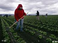 Trabajadores inmigrantes en un cultivo de lechugas en California.