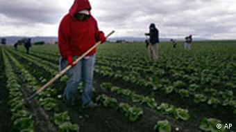 Migrant workers tend to lettuce crops in Salinas, California