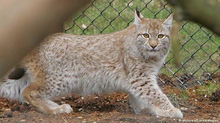 Lynx in Dartmoor Zoo (Photo: Geoff Caddick/PA Wire)