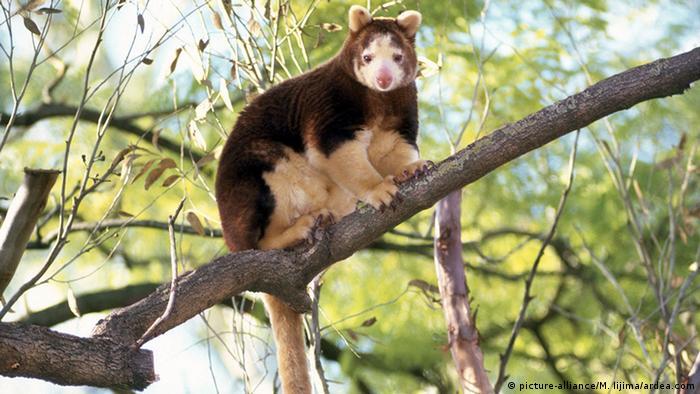 Matschie's Tree Kangaroo (Dendrolagus matschiei Baumkänguru)