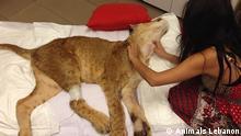 Libanon Zootiere Raubkatzen Tierhaltung Queen 3