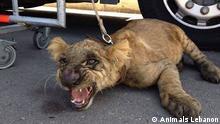 Libanon Zootiere Raubkatzen Tierhaltung