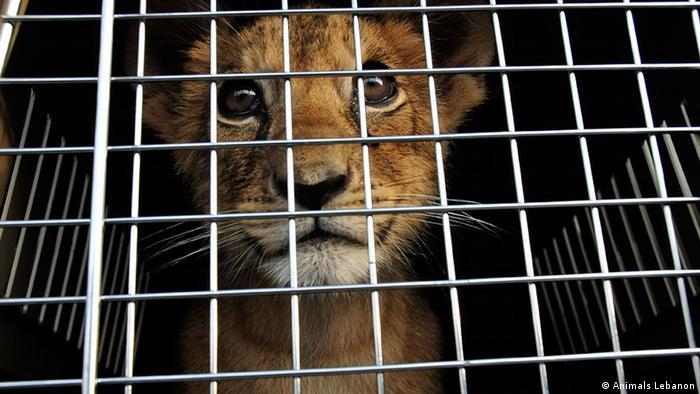 Libanon Zootiere Raubkatzen Tierhaltung Jungtier