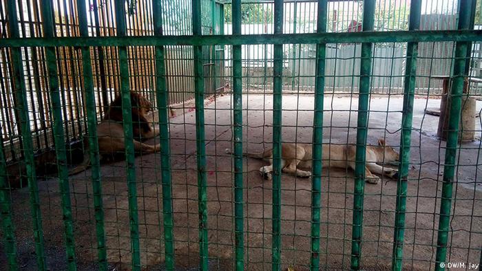 Libanon Beirut Zootiere Raubkatzen Tierhaltung Löwen