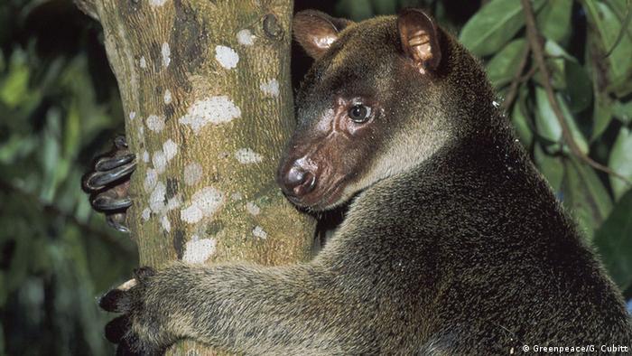 Tree kangaroo, Papua