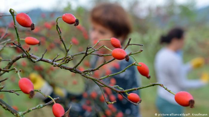 Rose hip fruits on a branch with people in the background (picture-alliance/dpa/F. Kraufmann)