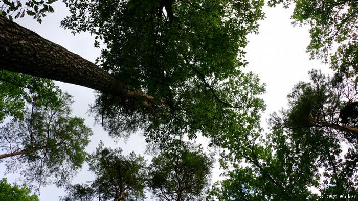 looking upwards at tree canopy