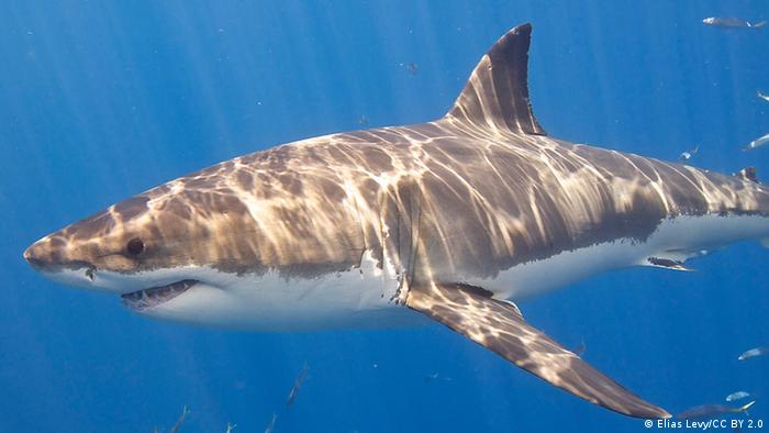 Great White Shark (Elias Levy/CC BY 2.0)