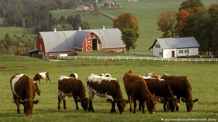 USA Vermont East Albany Kühe auf Weide (picture-alliance/newscom/A. Jenny)
