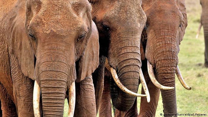 7fef1f6f77ae9e African elephants