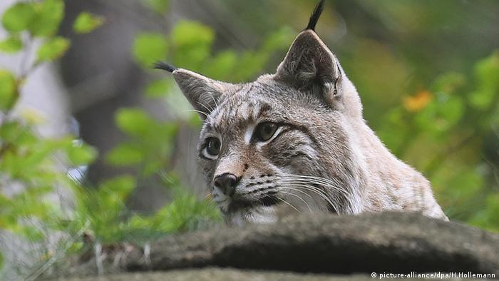A lynx peers over a boulder (Photo: picture-alliance/dpa/H.Hollemann)