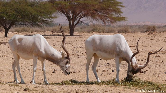 Two Addax antelopes in their natural habitat