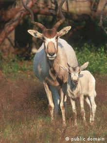 Addax with a calf