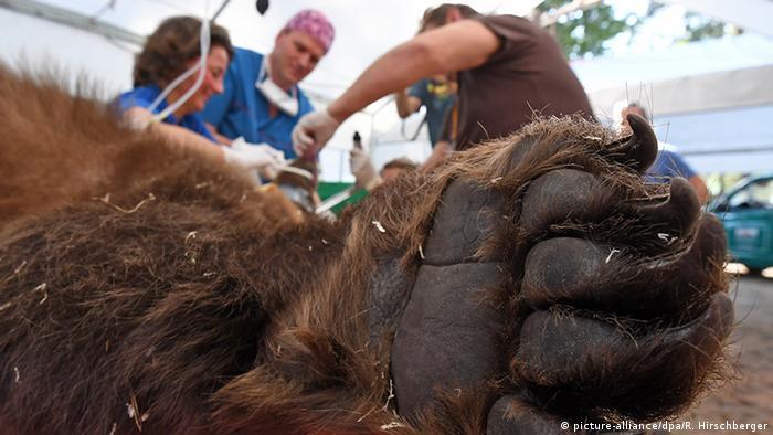 Deutschland Zahn-OP für Braunbär Igor