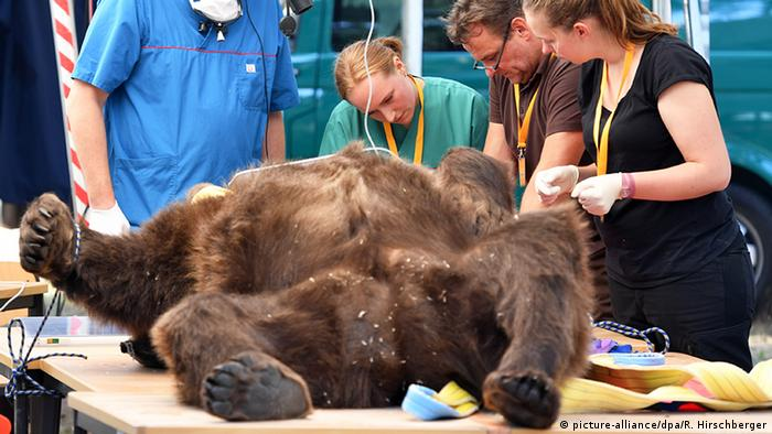 German wildlife experts conduct Dental operation on a wild bear