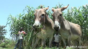 Esel auf Wochenmarkt in Dari Nordnigeria