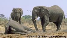 Botswana Afrikanische Elefanten mit einem toten Artgenossen