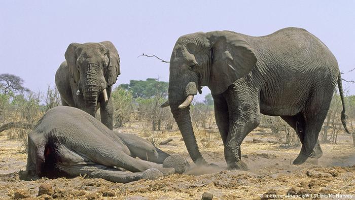 Two elephants stand by a dead elephant in Botswana