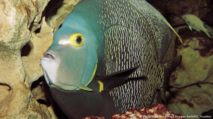 Franzosen-Kaiserfisch - Pomacanthus paru