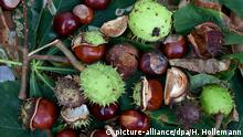 Chestnuts (picture-alliance/dpa/H. Hollemann)