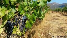 *** NUR FÜR ABGESPROCHENE BERICHTERSTATTUNG *** Grapes at Domaine Maestracci vineyards. (c)Lisa Bryant
