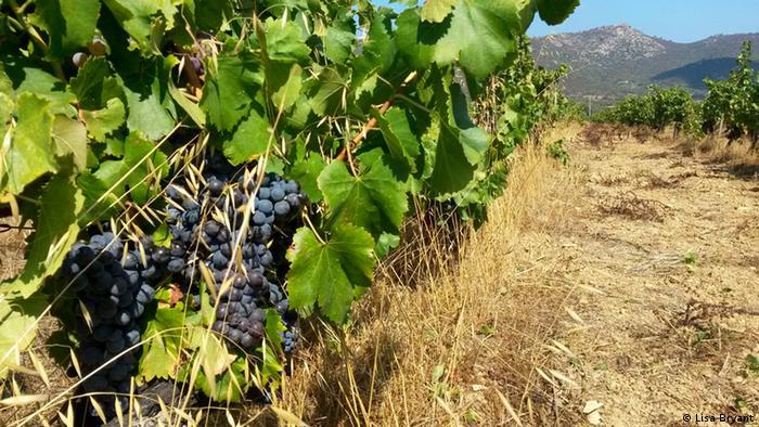 Vineyards on Corsica