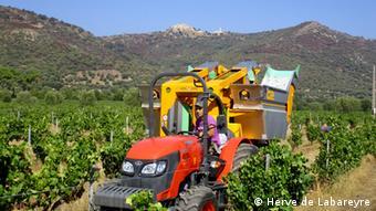 Na vinícola Domaine Maestracci, na Córsega, as colheitas tiveram de ser antecipadas por causa do clima seco e quente