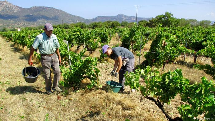 Farm workers at the Domaine Maestracci vineyard (Photo: Lisa Bryant)