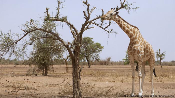 Niger Giraffen aus dem Kouré Giraffe Reserve (picture-alliance/robertharding/Godong)