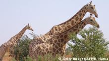 Niger Giraffen aus dem Kouré Giraffe Reserve