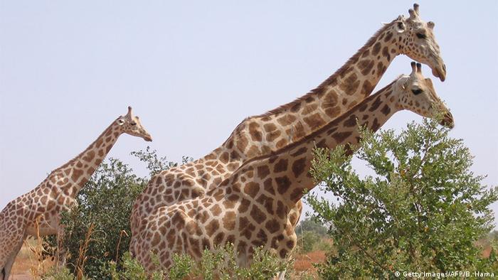 Niger Giraffen aus dem Kouré Giraffe Reserve (Getty Images/AFP/B. Hama)