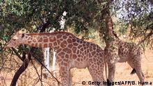 A picture taken on August 14, 2010 in Koure, next to Niamey shows Giraffes eating in the bush. Two giraffes among the last ones in Western Africa, surviving in the south-west of Niger, were victim of poaching for the first time in 20 years according to Niger's environment and wildlife officials. AFP PHOTO / STR (Photo credit should read Boureima HAMA/AFP/Getty Images) +++ (C) Getty Images/AFP/B. Hama