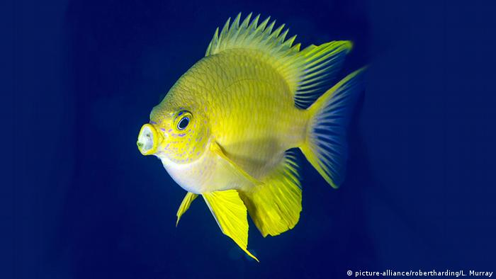 golden Damselfish (picture-alliance/robertharding/L. Murray)
