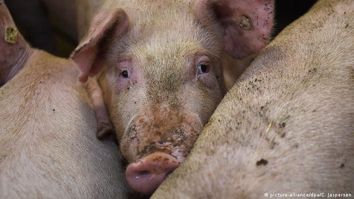 Deutschland Lengerich - Schweinezucht (picture-alliance/dpa/C. Jaspersen)