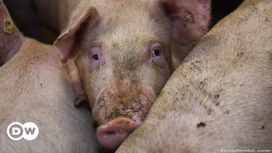 German pork glut amid COVID and China import ban