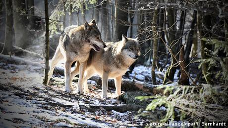 Two wolves walk in a forest