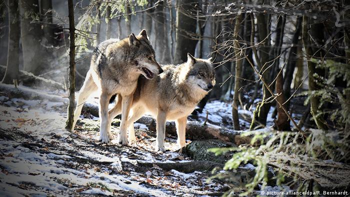 A couple of timber wolves walk through the forest